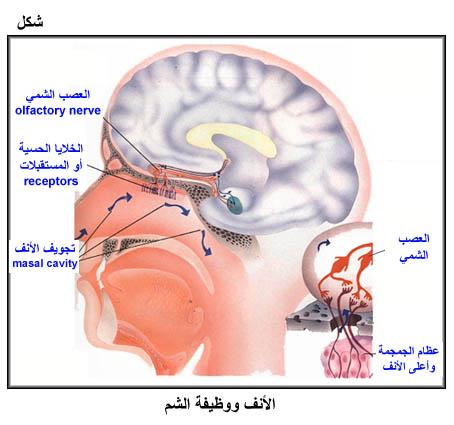 جسم الانسان شرح مفصل جسم